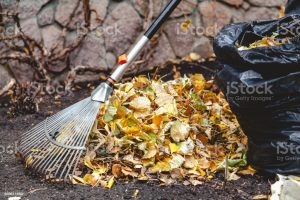 Autumn cleaning leaves. Steel fan rake with a long handle collect fallen leaves. Nearby stands a trash bag